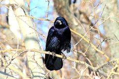 Black raven sitting on a branch in the  forest. Stock Images