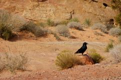 Black raven. Royalty Free Stock Photos