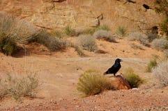 Black raven. Black raven sitting on the stone Royalty Free Stock Photos