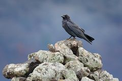 Black raven sitting on the stone. Moose stone with black bird. Black bird in the nature habitat. Raven on the rock. Wildlife scene royalty free stock image