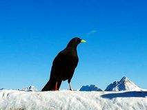 Black Raven in snow at ski area in Alps at winter, Germany royalty free stock photography