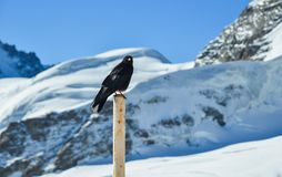 Black raven standing on the wooden pillar royalty free stock image