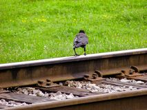 Black Raven stands on the rails of the railway, against the summer green grass royalty free stock photo