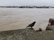 Black raven on the stone embankment of the river Rhine Royalty Free Stock Photography