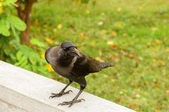 Black raven on a white stone fence. Green grass on the background Stock Photo