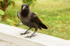 Black raven on a white stone fence. Green grass on the background Royalty Free Stock Image
