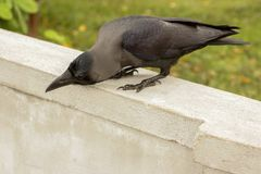 Black raven on a white stone fence. Green grass on the background Royalty Free Stock Photography