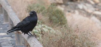 Black raven on wood Royalty Free Stock Photography
