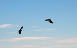 Black ravens Royalty Free Stock Photos