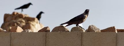 Black ravens and crows on the wall of the fortress of Aqaba, Jordan stock photos
