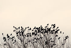 Black ravens Stock Photo