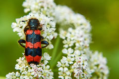 Black and red beetle sits on white flowers royalty free stock photography
