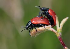 Black Red Beetle on Top of Another Red Black Beetle Stock Photography