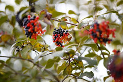 Black and red berry tree Stock Photos