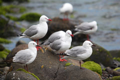 Black and Red Billed Gulls Royalty Free Stock Images