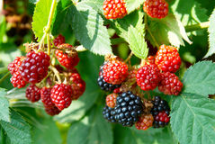 Black and red blackberries Royalty Free Stock Photography