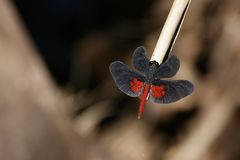 Black and Red Brazilian Dragonfly Diastatops Intensa. A beautiful dragonfly with solid black wings except for red blotches on the hindwings, black eyes and Stock Images