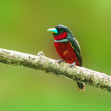 Black-and-Red broadbill bird. Colorful of black and red bird ( Black-and-Red broadbill (Cymbirhynchus macrorhynchos)) standing on a branch Stock Photography