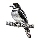 Black-and-red Broadbill bird drawing Royalty Free Stock Photography