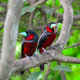 Black-and-Red Broadbill. Colorful of black and red bird, couple of Black-and-Red broadbill (Cymbirhynchus macrorhynchos) standing on a branch, during feeding Stock Images