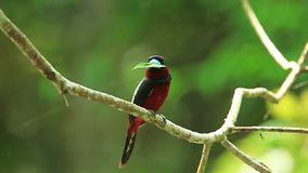 Black-and-red Broadbill(Cybirhynchus macrohynchus) with leaf stock video