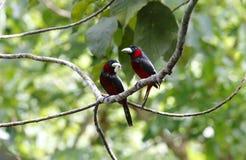 Black and red Broadbill Cymbirhynchus macrorhynchos Stock Photos