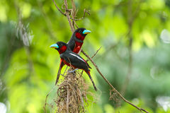 Black-and-Red Broadbill perching on a branch Royalty Free Stock Photo