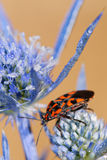 Black and red bug. A black and red bug macro on a blue flower with a clear orange background Stock Photos