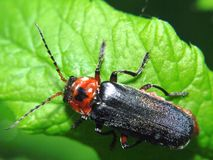 Black and red bug - Cantharis pellucida - sitting on a bright green leaf plants Stock Photo