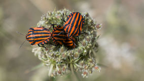 Black and red bugs. A few bugs coming out from a plant stock photography