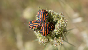 Black and red bugs. A few bugs coming out from a plant Stock Images