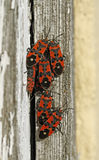 Black and red bugs Stock Photography