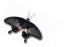 Black red butterfly. Isolated on white Stock Image
