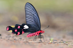 Black and Red Butterfly Royalty Free Stock Image