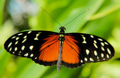 Black and red butterfly Stock Photo