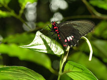 Black and red butterfly Royalty Free Stock Images