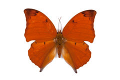Black and red butterfly Anaea itys isolated Stock Images