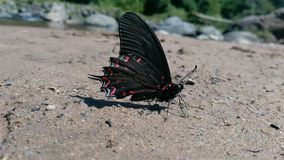 Black and red butterfly stock image