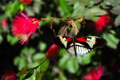 Black & Red Piano Key Butterfly (Heliconius melpomene) Royalty Free Stock Image
