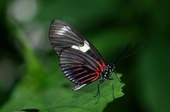 Black and Red Butterfly on Green Leaf Royalty Free Stock Photography