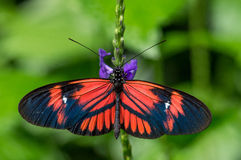 Black and red butterfly Stock Photography