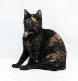 Black and red cat sitting on gray Royalty Free Stock Images
