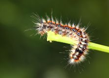Black - red caterpillar Stock Photo