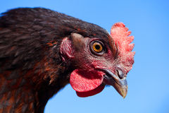 Black and red chicken face closeup on blue sky Royalty Free Stock Images