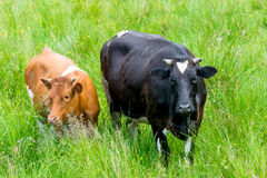Black and red cow in a green pasture Stock Photos