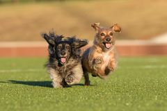 Two dachshunds running joyously Stock Photo