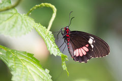 black and red doris butterfly Royalty Free Stock Photo