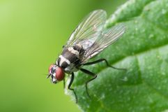 Black and Red Flying Insect Perched on Green Leaf Stock Photography