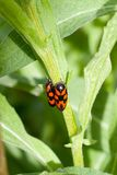 Black and Red Froghopper beetle. The froghopper beetle, scientific name Cercopis vulnerata, is common in central and southern England and the colourful mature Royalty Free Stock Photo