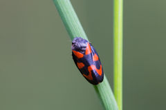 Black and red froghopper beetle Stock Photo